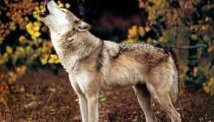 JLM-wolf05-(1024x768)