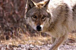 wolf-944834_640-pequena